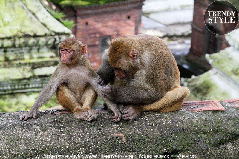Makaken (apen) in de Pashupatinath Tempel in Kathmandu, Nepal